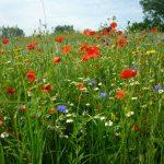 Wildflower Seed Mixtures