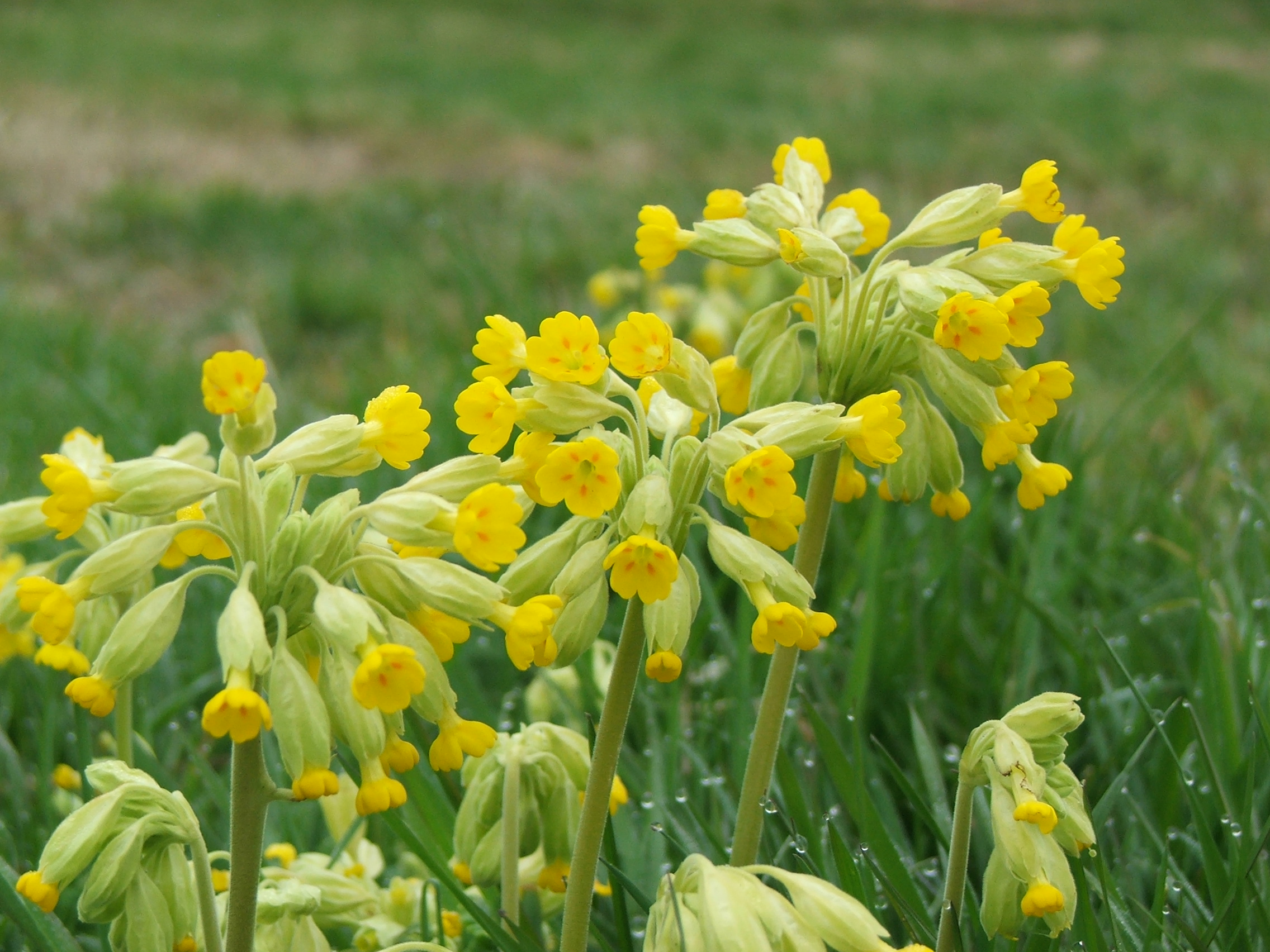 how to grow cowslips from seed