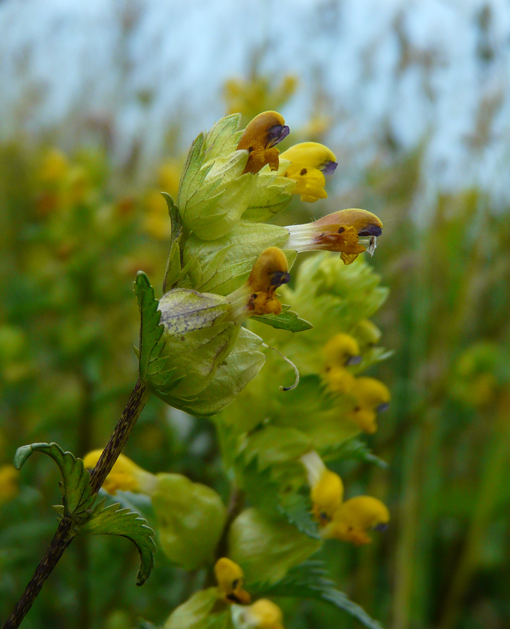 Yellow rattle heritage seeds british wildflower growers yellow rattle mightylinksfo