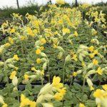 Wildflower Plug Plants